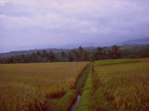 Lahan Pertanian dengan Padi Siap Panen (Gambar 1)